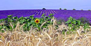 Fotos Lavendel Sonnenblumen Felder Weizen Ähre Natur Blumen