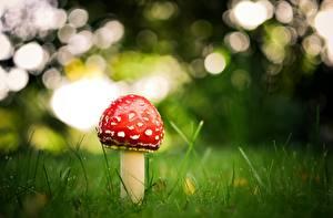 Hintergrundbilder Pilze Natur Wulstlinge Gras Natur