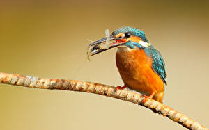 Hintergrundbilder Vögel Eisvogel Ast kingfisher shrimp Tiere