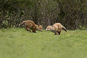 Wallpapers Foxes 2 Grass Run animal