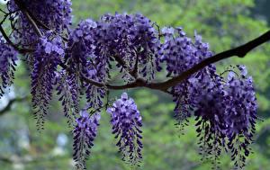Fotos Blauregen Blühende Bäume Ast Blumen