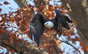 Wallpapers Birds Hawk Bald Eagle