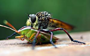 Papel de Parede Desktop moscas Besouro Insetos De perto Animalia