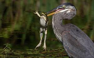 Hintergrundbilder Reiher Frosche Vogel