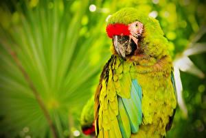 Fotos Vögel Papagei Eigentliche Aras militaris