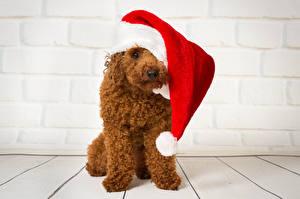 Bilder Neujahr Hunde Pudel Mütze