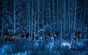 Photo Parks Canada Moose Forests Trees Banff Alberta Nature Animals