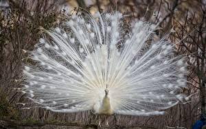 Bilder Pfau Vogel Weiß Schwanz