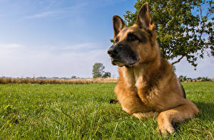 Fotos Hunde Himmel Shepherd Gras Tiere
