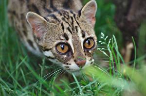 Images Cats Eyes Dwarf leopard Glance Grass Animals