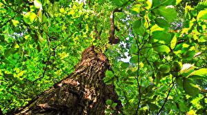 Hintergrundbilder Rinde Bäume Blatt Blattwerk Untersicht Ansicht von unten Tilia Natur