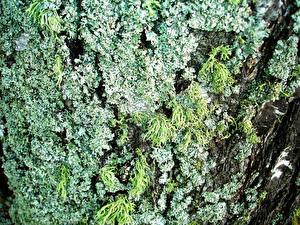Fotos Großansicht Rinde Baumstamm Laubmoose Natur