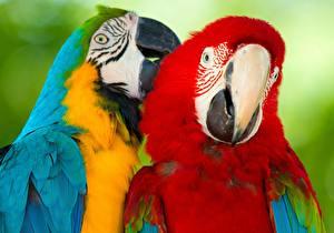 Hintergrundbilder Vogel Papagei Eigentliche Aras Zwei ararauna ein Tier
