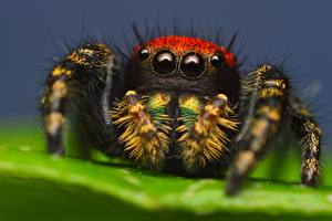 Picture Spiders Closeup Eyes Jumping spider animal