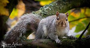 Hintergrundbilder Hörnchen Großansicht Ast Sean Aitken Tiere