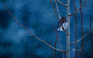 Bilder Vögel Eulen USA Ast pygmy owl ein Tier