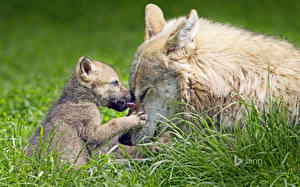Photo Wolves Cubs Grass Two Animals