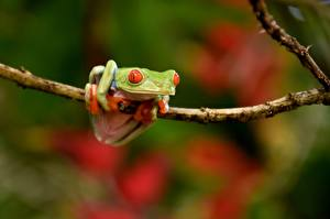 Fotos Frosche Ast Red-eyed Tree Frog Tiere