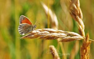 Fotos Schmetterlinge Insekten Großansicht Ähre Tiere