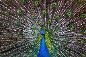 Fotos Pfau Vogel Tiere
