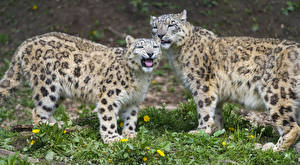Pictures Snow leopards 2 Animals