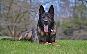 Hintergrundbilder Hunde Shepherd Gras ein Tier