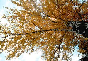 Bilder Herbst Birken Bäume Ast Natur