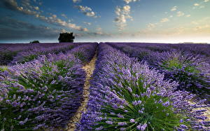 Hintergrundbilder Felder Lavendel Himmel Natur Blumen