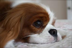 Bilder Hunde King Charles Spaniel Blick Schnauze