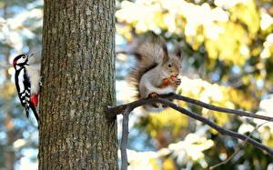 Hintergrundbilder Eichhörnchen Vögel Spechte Baumstamm Ast Dendrocopos Tiere