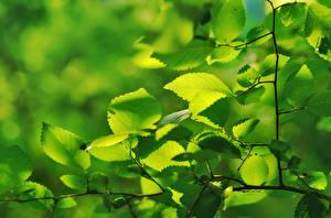 Hintergrundbilder Ast Blattwerk Grün Natur