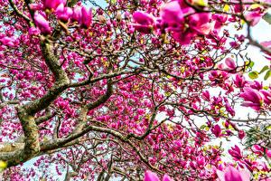 Bilder Blühende Bäume Magnolien Ast Rosa Farbe Blumen