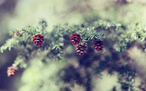 Bilder Ast Zapfen Fichten Natur