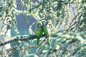 Bilder Papageien Vögel Grün 2 Ast Tiere