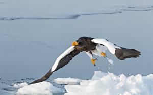 Picture Birds Hawk Bald Eagle Snow Steller's sea eagle