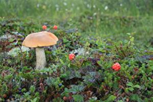 Hintergrundbilder Pilze Natur Leccinum aurantiacum Rubus chamaemorus