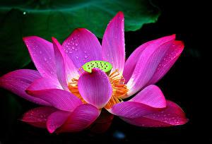 Hintergrundbilder Lotosblume Nahaufnahme Tropfen Rosa Farbe Blumen