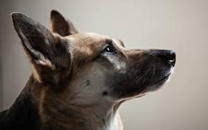 Hintergrundbilder Hunde Shepherd Kopf
