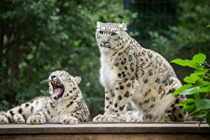 Images Snow leopards 2 Animals