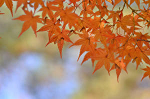 Hintergrundbilder Ast Ahorne Orange Natur