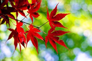 Fotos Herbst Großansicht Blatt Ast Rot Natur