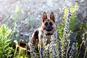 Fotos Hunde Shepherd Tiere