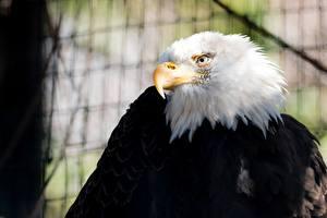 Image Birds Hawk Bald Eagle Beak Animals