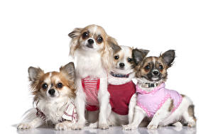 Picture Dogs Clothes Chihuahua Staring Glance Four 4 Animals