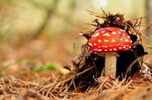 Hintergrundbilder Pilze Natur Großansicht Wulstlinge