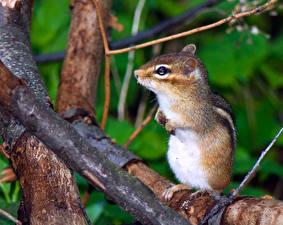 Bilder Chipmunks Nagetiere Ast Tiere