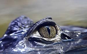 Pictures Crocodiles Eyes Closeup animal
