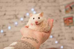 Photo Hamsters Rodents White Tattoos Hands Animals