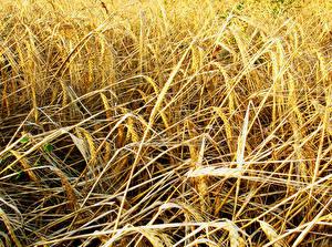 Fotos Großansicht Weizen Ähre