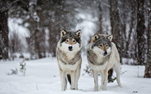Pictures Wolf Winter Snow 2 animal
